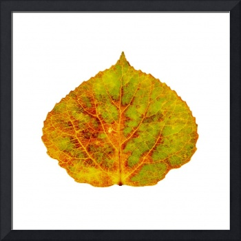 Brown Green Orange Red and Yellow Aspen Leaf 1