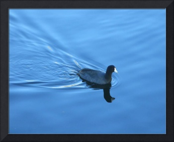 Cool American Coot