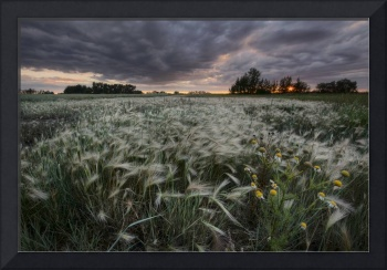 A Sunrise With Storm Clouds Over A Field Of Foxtai