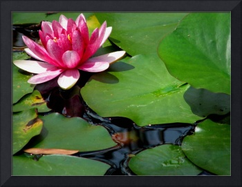 Pink Waterlily With A Green Lily Pad