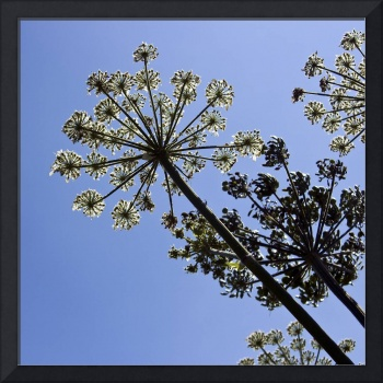 Cow Parsnip & Blue Sky