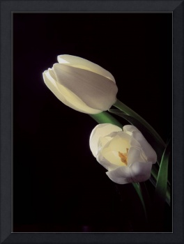 Glowing White Tulips
