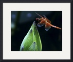 Red Dragonfly on Lotus Bud by John Corney