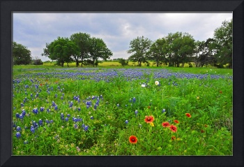 Bluebonnet Fields Forever