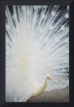 Close-Up Of White Peacock With Feathers Wide-Sprea