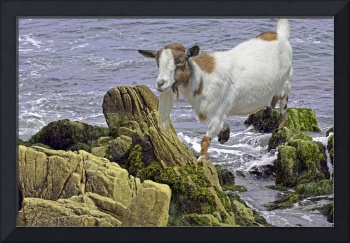 SaltwaterGoat_DSC5830