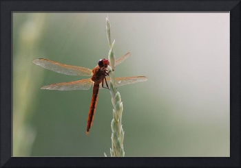 Red Dragonfly II