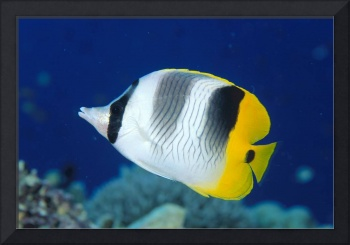 Fiji, Pacific Double-Saddle Butterfly Fish Close-U