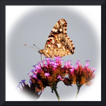 American Painted Lady Butterfly Square