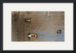 Shoveler and Wood Duck IMG_6287 by Jacque Alameddine