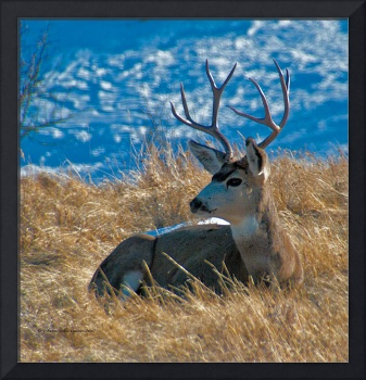 Mule Deer buck resting near Casper, Wyoming #2