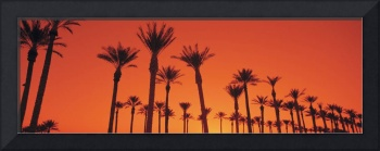 Date Palm Trees Stand Ready Sunrise  Phoenix AZ