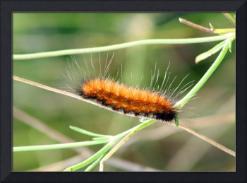 Caterpillar  Fuzzy Guy on Tightrope