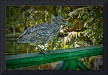 Young Heron Chillin on the Railing