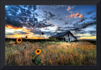 Sunflowers and Old Barn on the Prairie