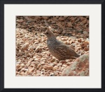 Scaled Quail IMG_1210 by Jacque Alameddine