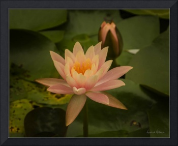 Water Lily and Bud