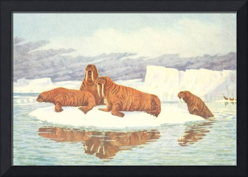 Vintage Illustration of Walruses (1917)