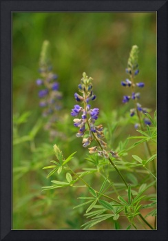 Arizona Wildflower - Lupine 3163
