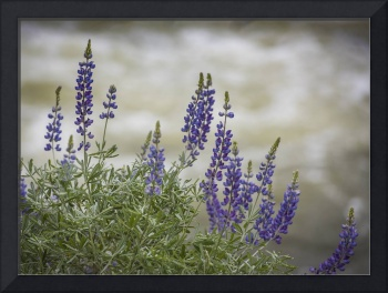 Lupines Along Merced River