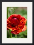 Red and Orange Ranunculus Flower by John Corney