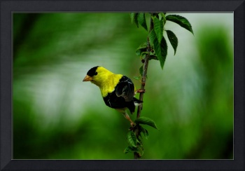 Goldfinch2