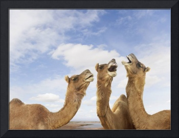 Singing Pushcar Camels