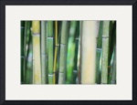 Bamboo by Mark Cullen