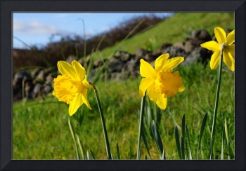 Country Spring Hillside Meadow Daffodil Flowers