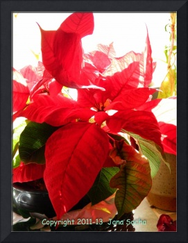 Poinsettia In Light