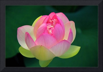 Luminous Lotus