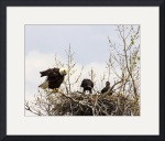 Mom Eagle scolding chicks by Sam Sherman