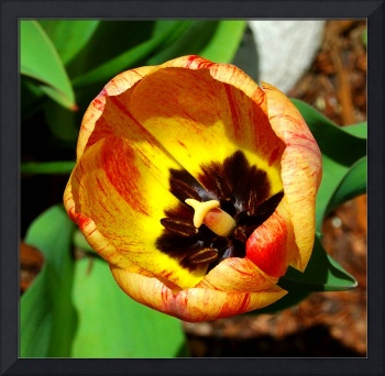 Tulip Red & Yellow #3