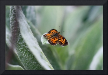 Secret World of the Pearl Crescent Butterfly
