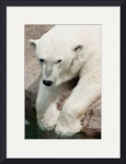 Polar Bear Portrait by Rich Kaminsky
