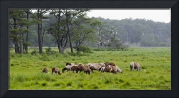 Wild Horses of Chincoteague