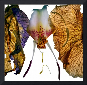 Orchid Iris Transformed srgb 1