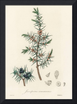 Vintage Botanical Common juniper