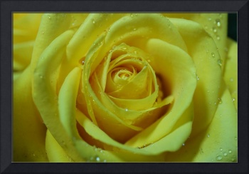 Beautiful rose macro