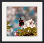 Red Admiral and Cherry Blossoms IMG_5418 by Jacque Alameddine