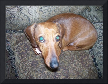 The Long Nose of the Dachshunds