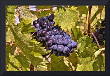 Grapes of Chianti, Italy