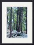 Ponderosa Pine Forest 1401 by Jacque Alameddine