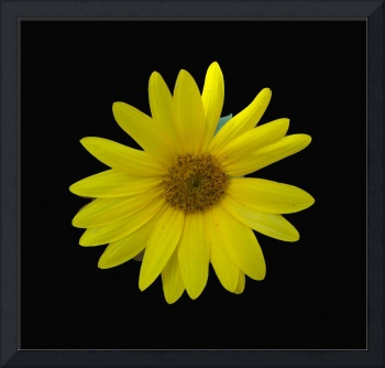 Yellow Sunflower on a dramatic black background