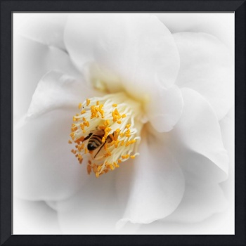 Focus on Bee in White Camellia