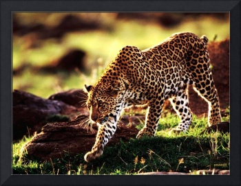 Leopard By The Rocks, Africa
