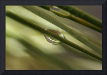 Rain drop & Pine needle