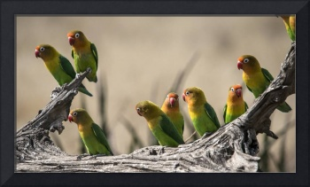 African Parakeets