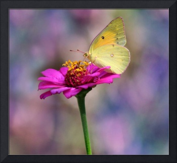 Orange Sulphur Butterfly with Pastels