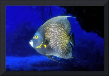 French Angelfish In Cave